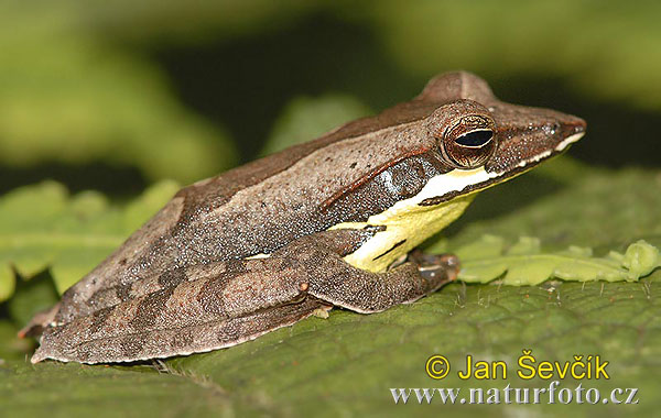 Frog Polypedates (Polypedates eques)