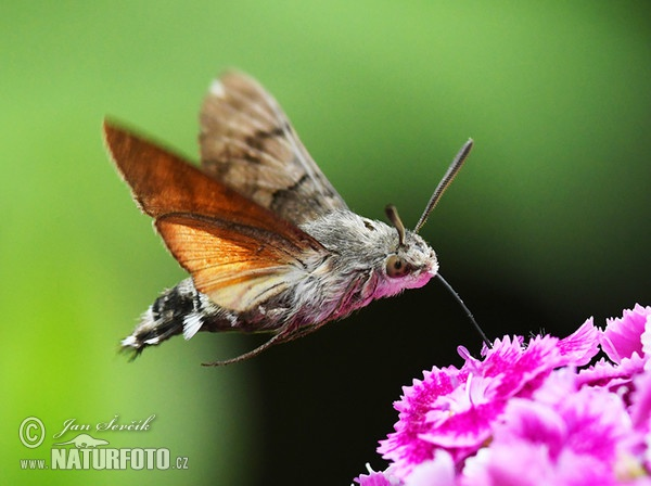 http://www.naturephoto-cz.com/photos/sevcik/fruczak-golfbek--62x_dlouhozobka_dss_2836.jpg