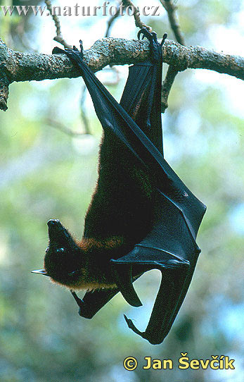 http://www.naturephoto-cz.com/photos/sevcik/fruit-bat-large-flying-fox--kalon.jpg