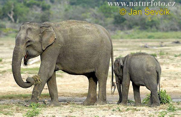 Gajah Asia Foto Gambar