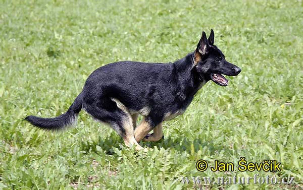 German Shepherd (Canis lupus familiaris)
