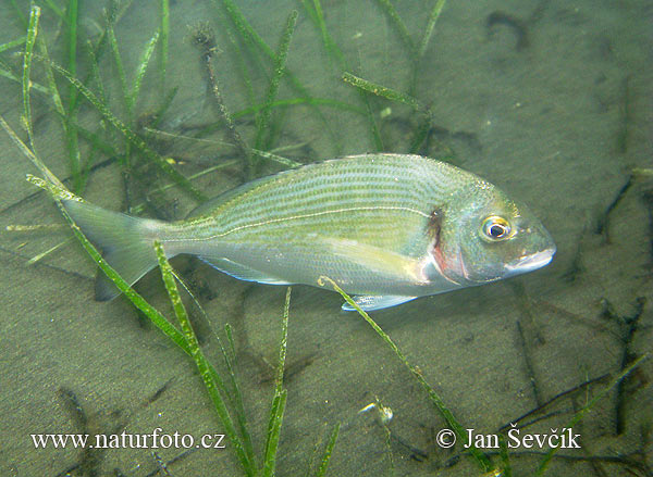 Gilt Heat Sea Bream (Sparus auratus)