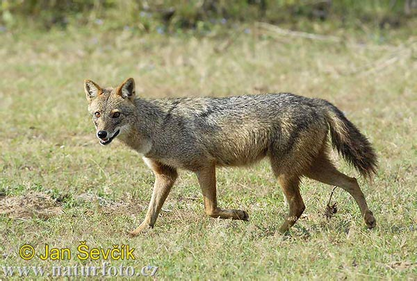 Golden Asiatic Jackal (Canis aureus)