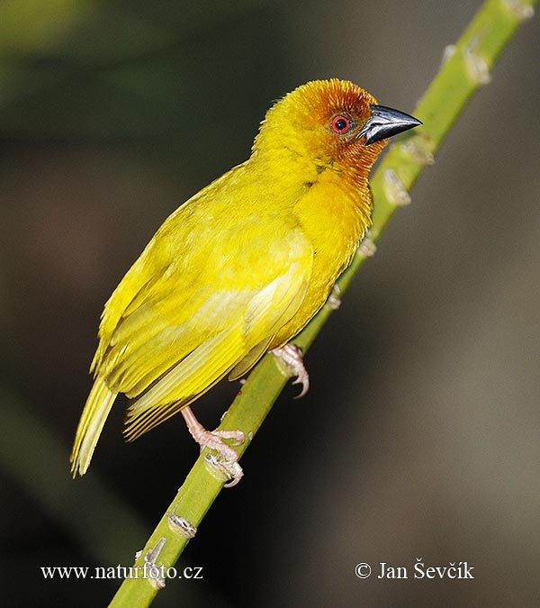 Golden Palm Weaver (Ploceus bojeri)