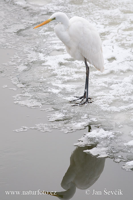 Great Egret (Egretta alba)