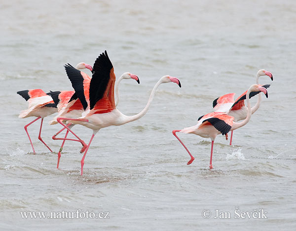 Greater Flamingo (Phoenicopterus roseus)