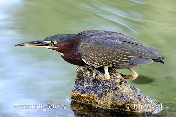 Green-backed Heron (Butorides striatus virescens)