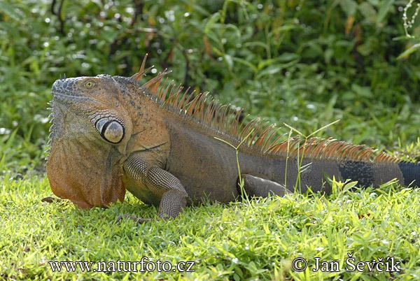 Taming amp Training an Iguana  Green Iguana Society