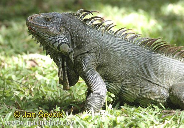 http://www.naturephoto-cz.com/photos/sevcik/green-iguana--iguana-iguana-1.jpg