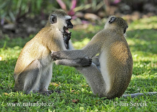 Green Monkey (Chlorocebus pygerythrus)