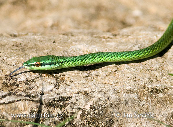 Green Tree snake (Uromacer catesbyi)