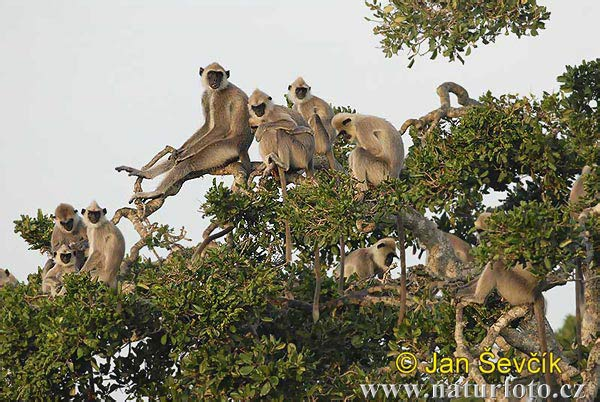 Grey Langurs (Semnopithecus entellus)