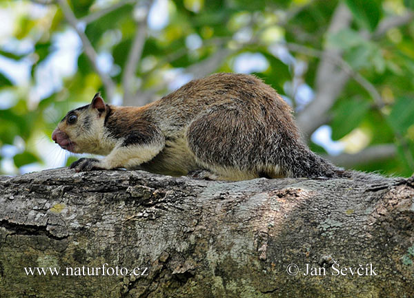 Grizzled Giant Squirrel (Ratufa macroura)
