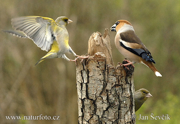 Hawfinch Photos, Hawfinch Images | NaturePhoto-