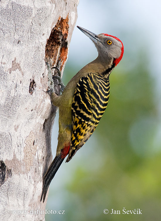 Hispaniolan Woodpecker (Melanerpes striatus)