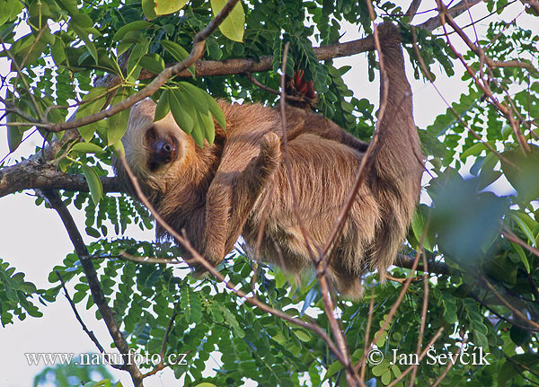 Hoffman´s two-toed sloth (Choloepus hoffmanni)