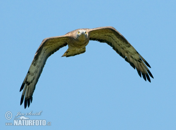 Honey Buzzard (Pernis apivorus)