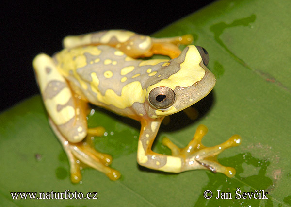 external image hourglass-tree-frog--hyla-ebraccata.jpg