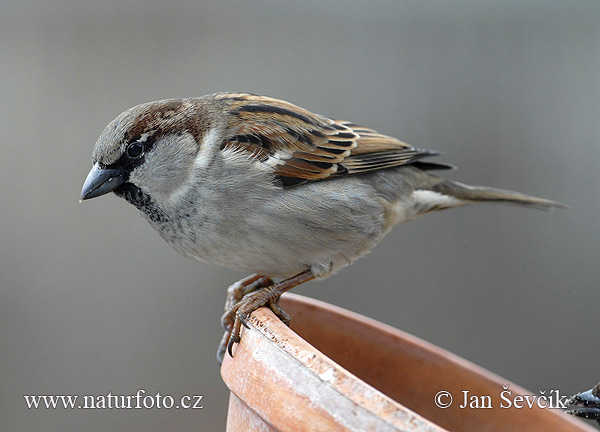 House Sparrow (Passer domesticus)