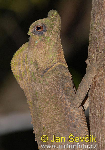 Hump-nosed Lizard (Lyriocephalus scutatus)