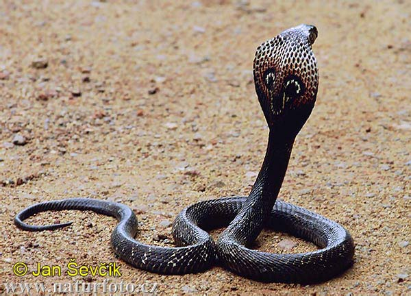 Indian Cobra (Naja naja)