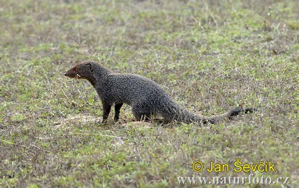 Indian Grey Mongoose (Herpestes edwardsi)