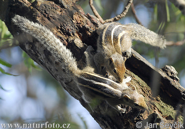 Indian Palm Squirrel (Funambulus palmarum)