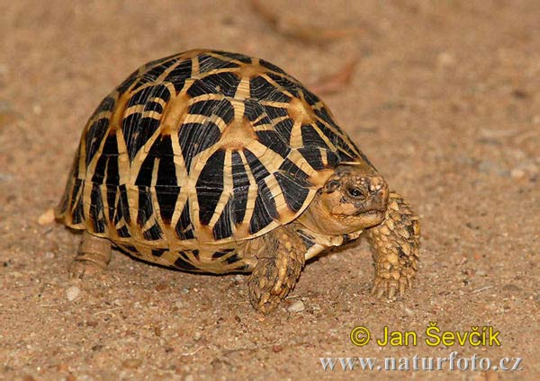 Indian star tortoise (Geochelone elegans)