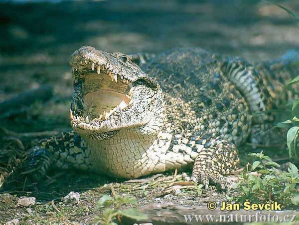 Cuban Crocodile Crocodylus Rhombifer
