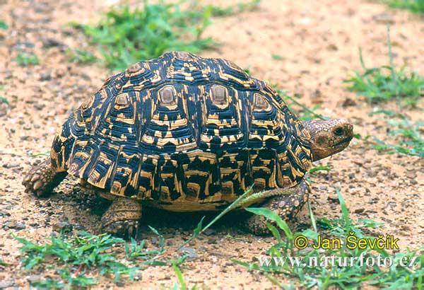 Leopard Tortoise Geochelone Pardalis