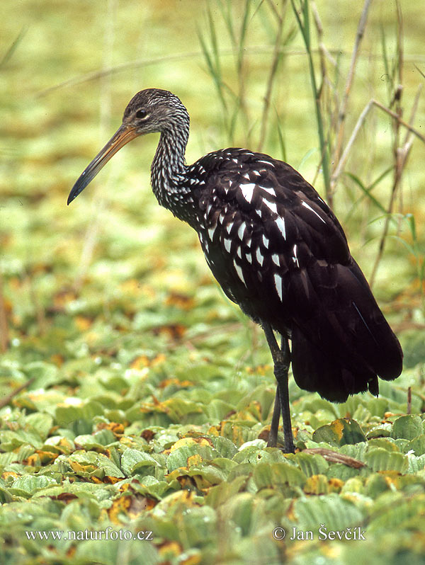Limpkin, Carrao (Aramus guarauna)