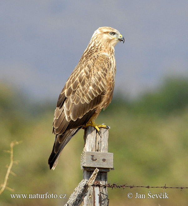 Grey Faced Buzzard Photo