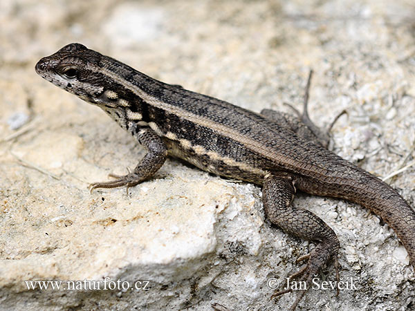 Masked Curly-tailed Lizard (Leiocephalus personatus)