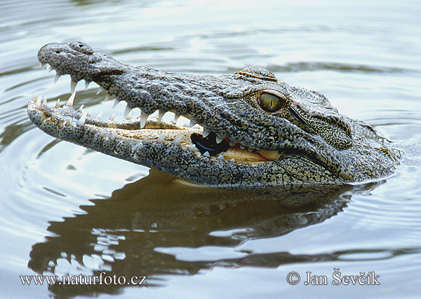 external image nile-crocodile--crocodylus_niloticus.jpg