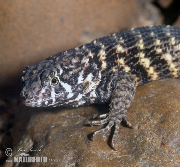 Northern Curly-tailed Lizard (Leiocephalus carinatus)