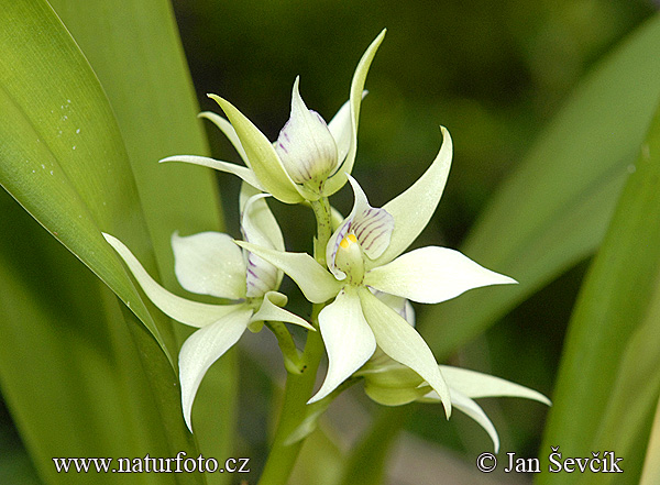 Orchid (Encyclia fragrans.)