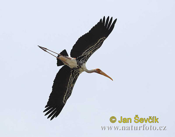 Painted Stork Photos, Painted Stork Images | Photobank NaturePhoto-