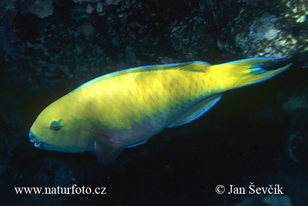 Parrotfish Photos, Parrotfish Images, Nature Wildlife