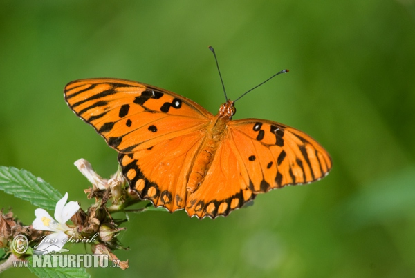 Passion Butterfly (Agraulis vanillae)