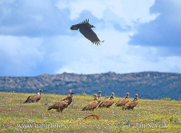 Pastureland with vultures (E)