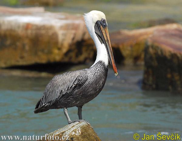 Pel cano pardo fotos fotograf a - Fotos de pelicanos ...