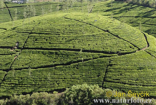 Plantation of Tea