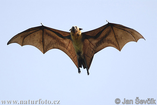 Pteropus giganteus Pictures, Indian Flying Fox Images ...