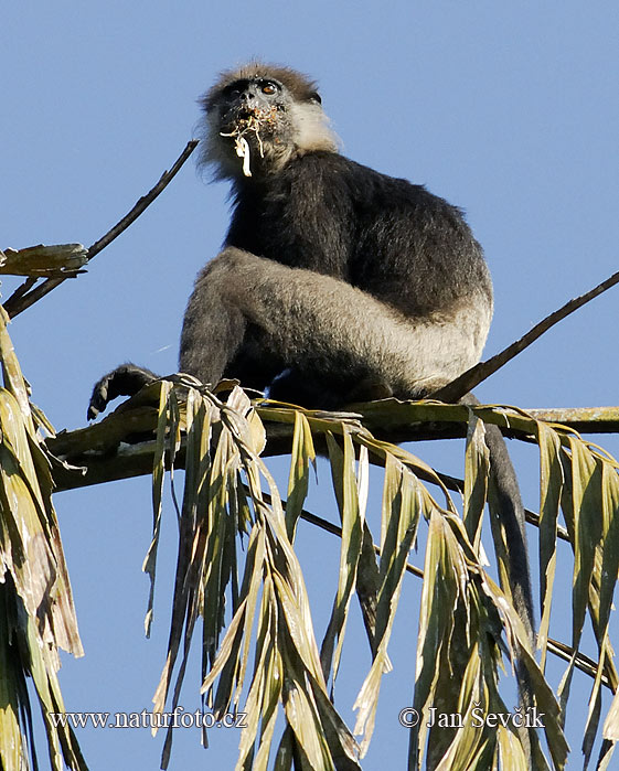 Purple-faced Langur (Trachypithecus vetulus)