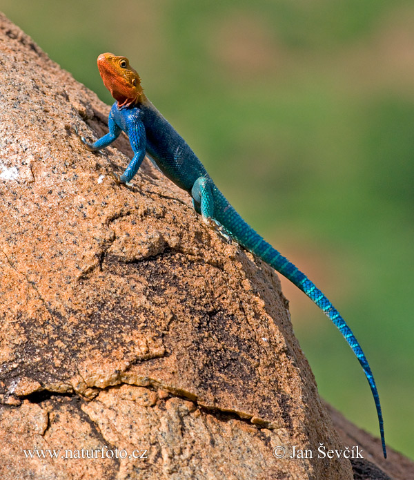 red-headed-rock-agama--97x_agama_dsm0559