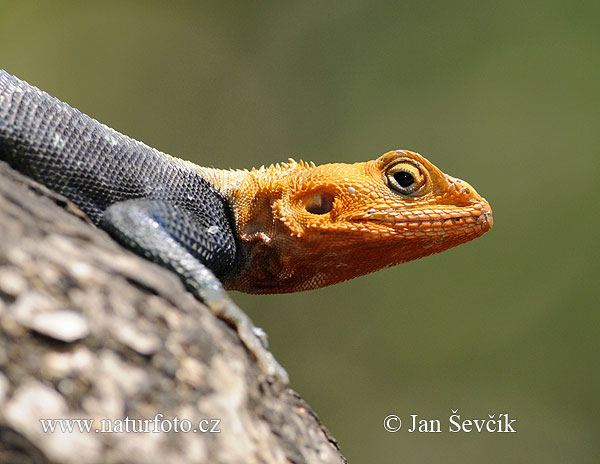 Red-headed Rock Agama (Agama lionotus)