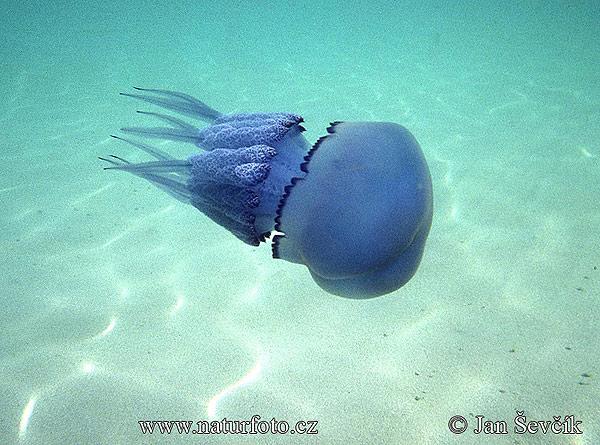buona notte dans immagini buon...notte, giorno rhizostome-jellyfish--korenoustka-plicnata-rhizosto-pulmo