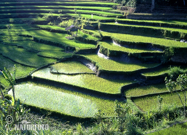 rice field (BAL)