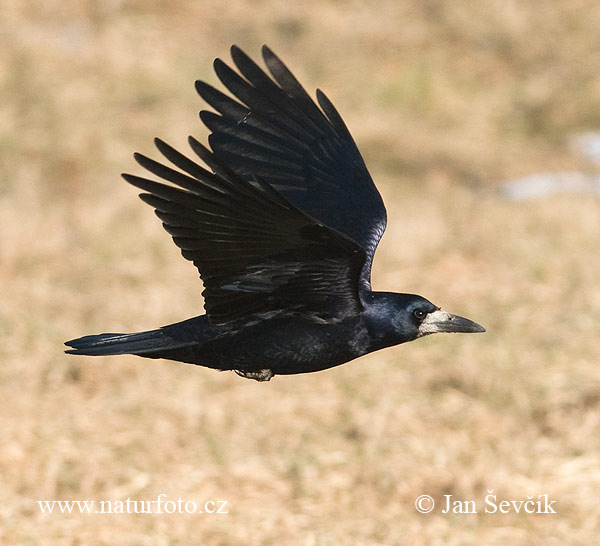 Rook Photos, Rook Images | Photobank NaturePhoto-