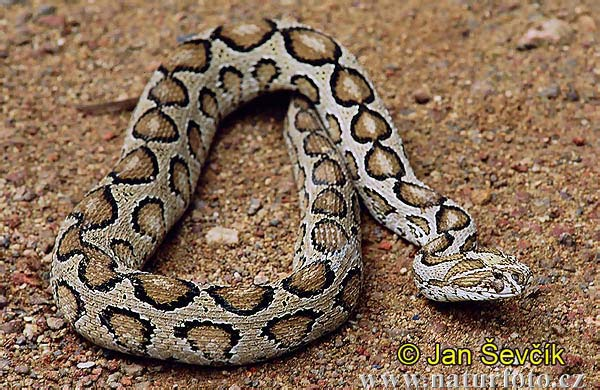 Russell's Viper (Daboia russelii)